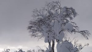 snowy trees in japan